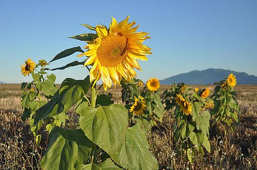 Sunflower Morning by Brent Easley