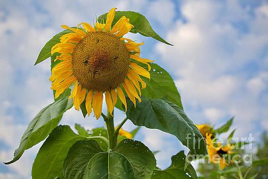Sunflower Morning by Rachel Morrison