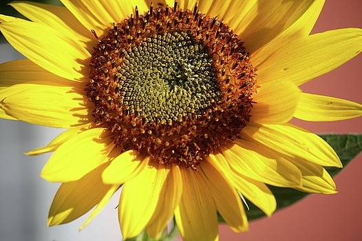 Sunflower by Natalia Radziejewska