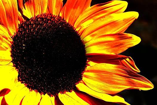 Sunflower by Nicole Lambert