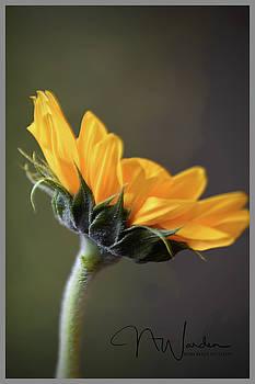 Sunflower by Norma Warden