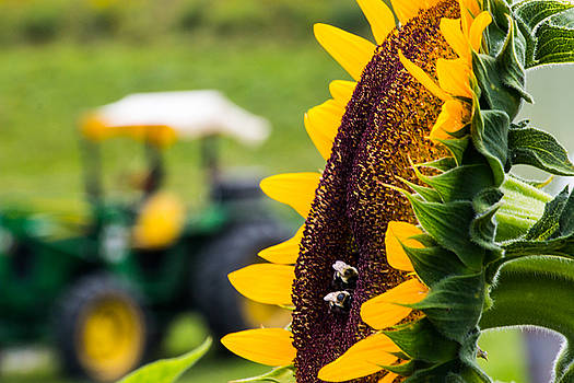 Sunflower on a Farm by Connor Koehler
