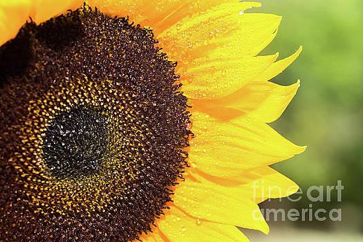 Sunflower on Green by Kelly Ann Jones