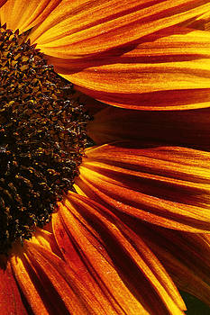 Sunflower petals by John Remy