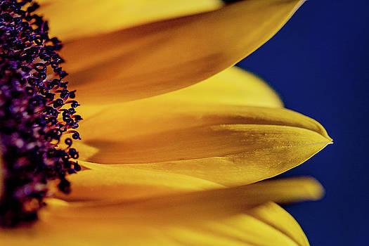Sunflower Portrait by Susan Schmidt