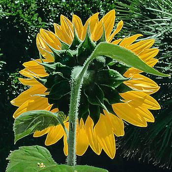 Stan  Magnan - Sunflower Rear
