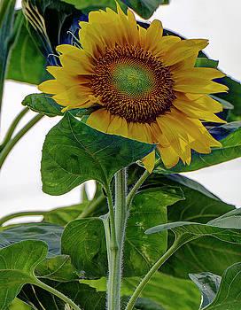 Sunflower by Ree Reid