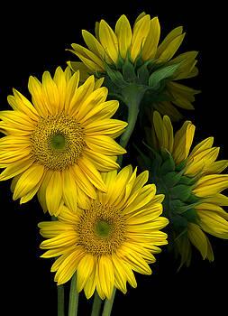 Marsha Tudor - Sunflower Reflection