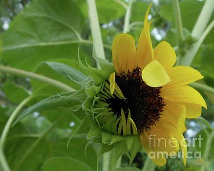 Sunflower Rising by Kristin Aquariann