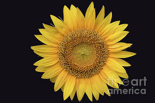 Sunflower by Ron Sadlier