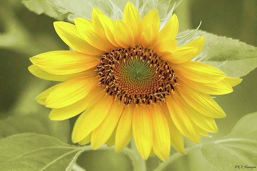 Sunflower by Ruben  Flanagan