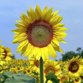 Sunflower by Ryan Shapiro