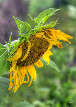 Sam Davis Johnson - Sunflower