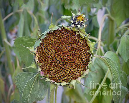 Sunflower Seedhead by Catherine Sherman
