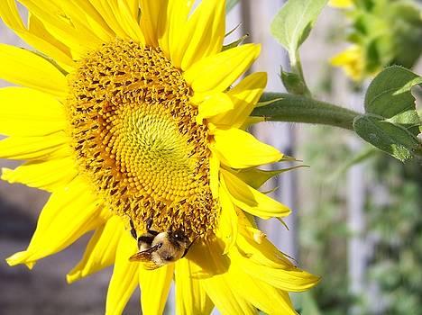Sunflower by Sherri Ward