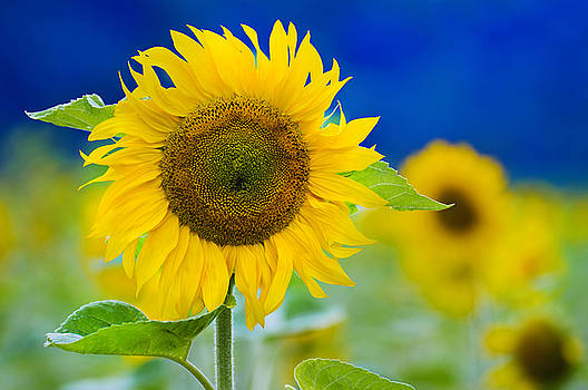 Sunflower by Silke Magino