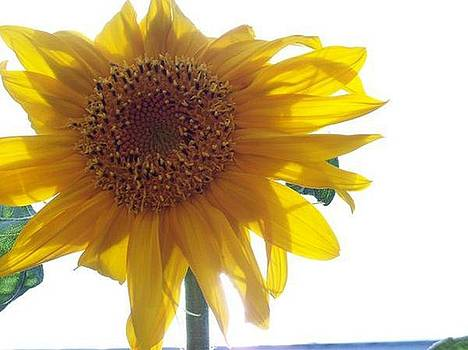Sunflower by Stacey Mead