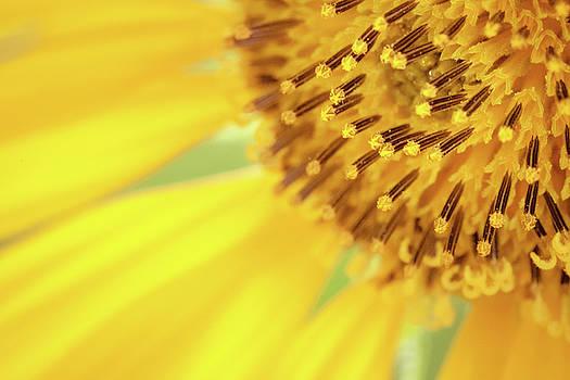 Sunflower Stamens by Debi Bishop