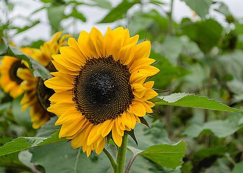 Sunflower by Stephanie Maatta Smith