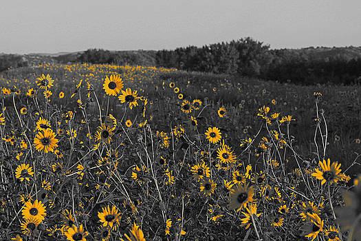 Sunflower by Steve ODonnell