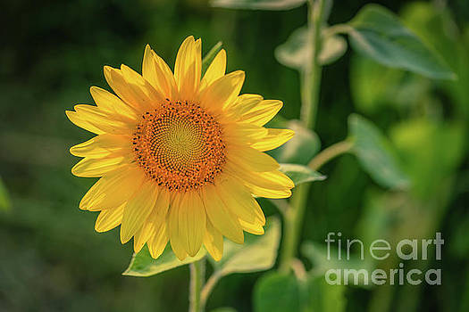Sunflower Summer by Cathy Donohoue