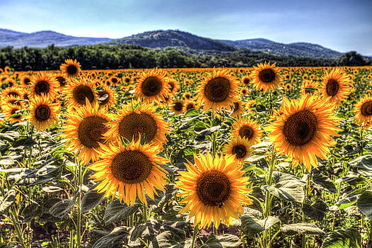 Sunflower Summer Fields by David Pyatt