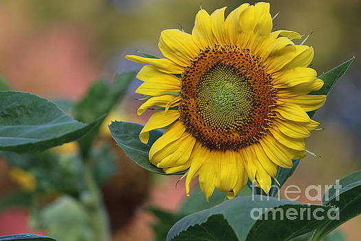 Sunflower Summer by Rachel Morrison