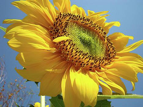 Baslee Troutman - Sunflower Sunlit Sun Flowers 6 Blue Sky Giclee Art Prints Baslee Troutman