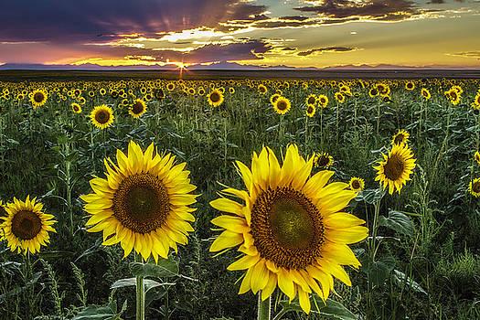 Sunflower Sunset by Kristal Kraft