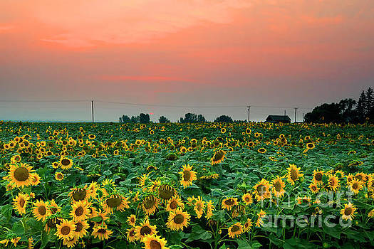 Sunflower Sunset by Mike Dawson
