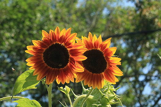 Sunflower Twins by Jonathan Huggon