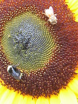 Sunflower with bees by K Hoover