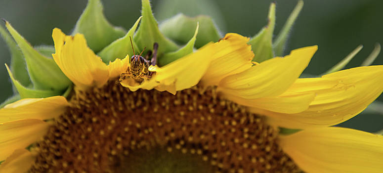 Sunflower with Grasshopper by Lindy Grasser