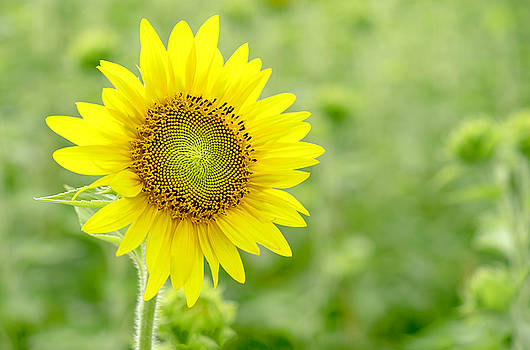 Sunflower Yellow by Cathy Donohoue