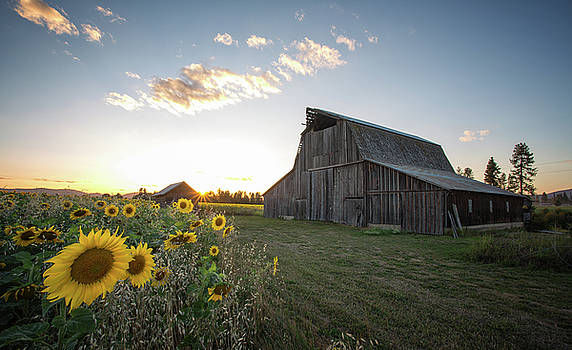 Sunflowers and Barns by James Richman