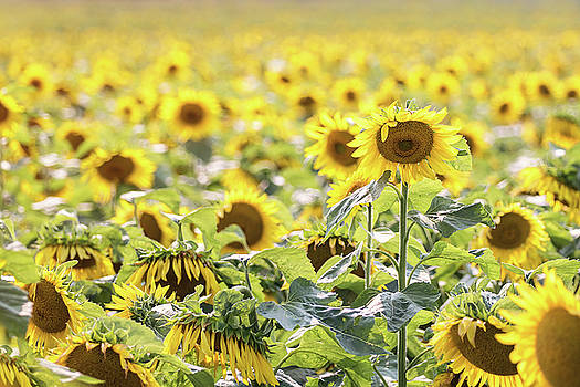 Sunflowers by Angie Rea