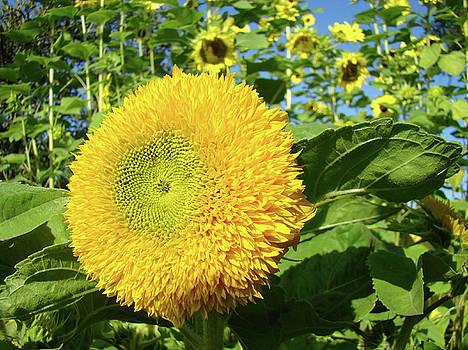 Baslee Troutman - SUNFLOWERS Art Prints Sun Flower Giclee Prints Baslee Troutman