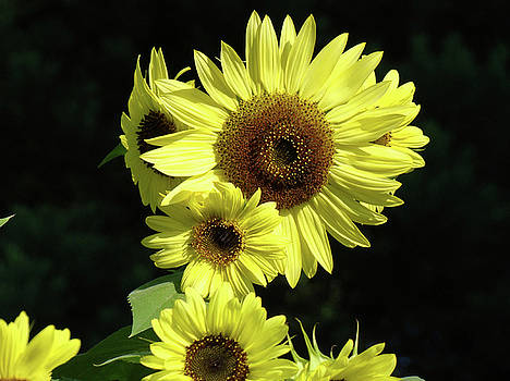 Baslee Troutman - SUNFLOWERS Art Yellow Sun Flowers Giclee Prints Baslee Troutman