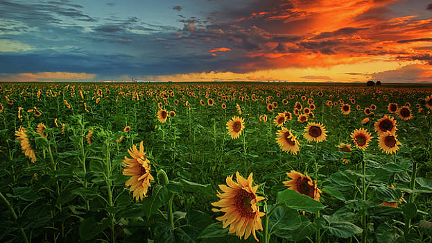 John De Bord - Sunflowers At Sunset On The Colorado Plains