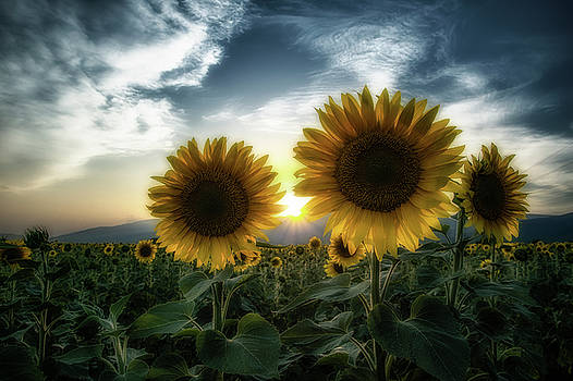 Sunflowers at sunset by Plamen Petkov