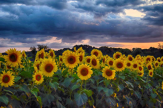 Sunflowers At Sunset by Tricia Marchlik