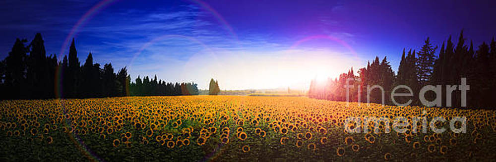Sunflowers await the morning sun by Peter Noyce