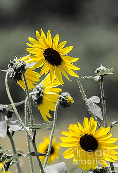 Sunflowers Colorized by Toma Caul