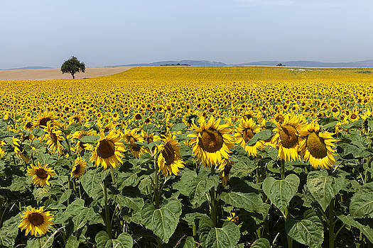 Sunflowers field by Mike Santis