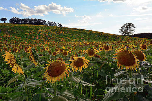 Sunflowers fields  by Frank Stallone