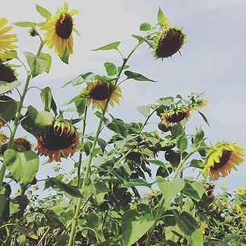 #sunflowers #flowers by Patricia And Craig