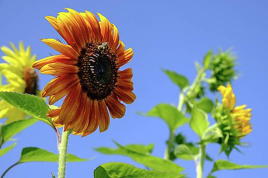 Sunflowers by Glenn DiPaola