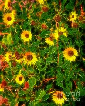 Jon Burch Photography - Sunflowers Gone Wild