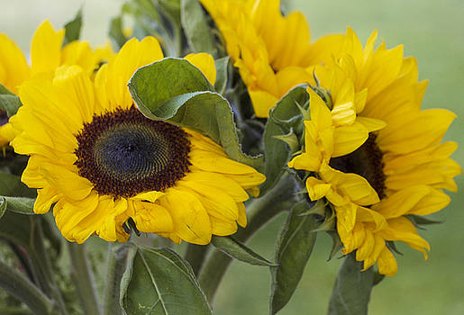 Venetia Featherstone-Witty - Sunflowers Helianthus Annus