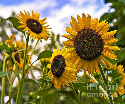 Sunflowers in a Group by John Remy